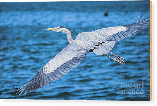 Great Blue Heron Flight Wood Print