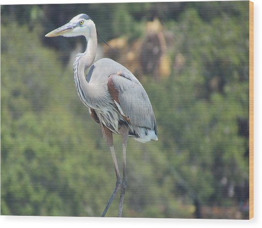 Great Blue Heron Wood Print by Ginger Adams