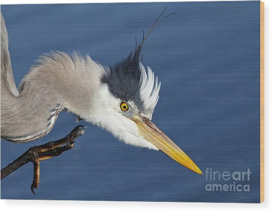 Great Blue Heron - Good Scratch Wood Print
