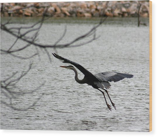 Great Blue Heron In Flight 6 Wood Print