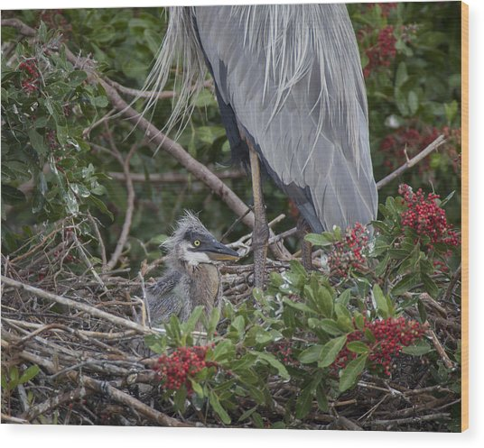 Great Blue Heron Nestling Wood Print