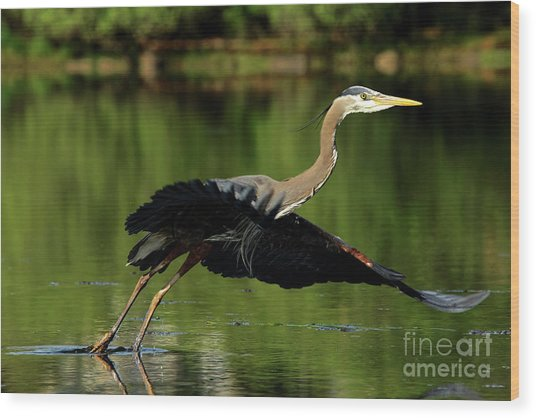 Great Blue Heron - Over Green Waters Wood Print