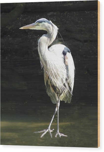 Great Blue Heron Standing Profile Wood Print