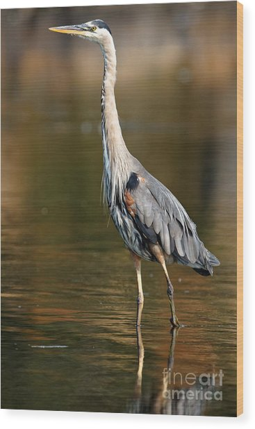 Great Blue Heron Standing Tall Wood Print