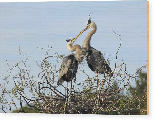 Great-blue Herons On Nest At The Venice Rookery, Florida Wood Print