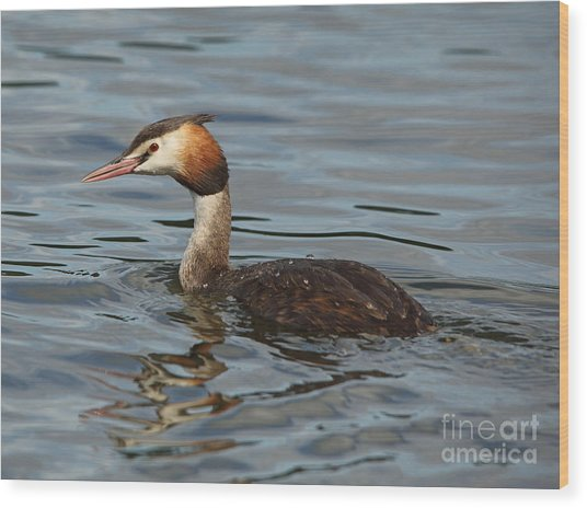 Great Crested Grebe Wood Print