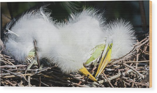 Great Egret Chicks Wood Print