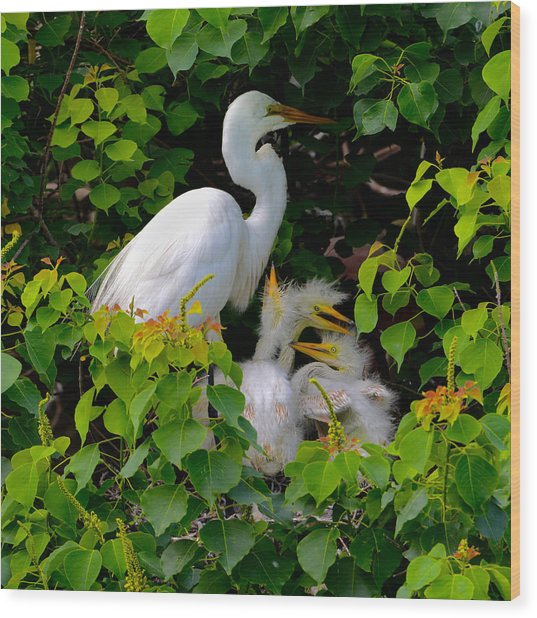 Great Egret Family Wood Print by Lindy Pollard