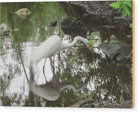 Great Egret Ready To Strike Wood Print