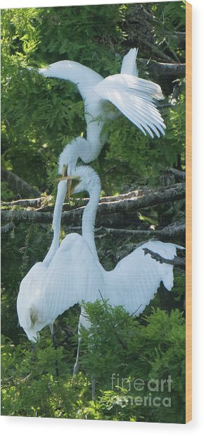Great Egrets Horsing Around Wood Print