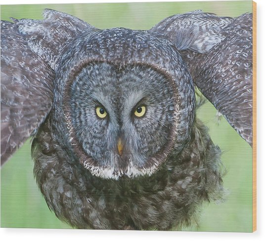 Great Gray Owl Flight Portrait Wood Print