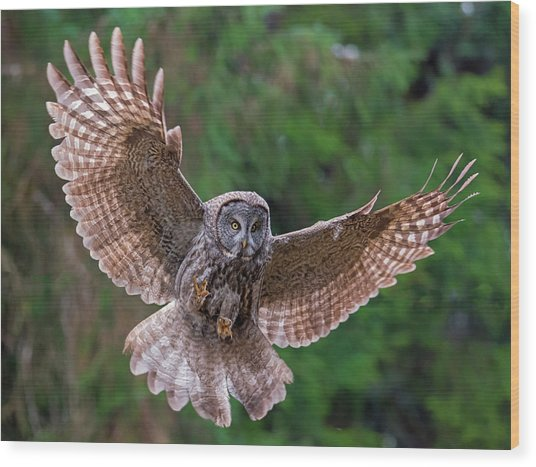 Great Gray Owl Swoop Wood Print