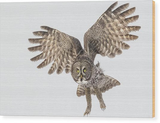 Great Grey Flight  Wood Print
