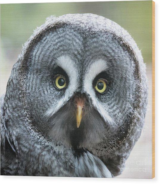 Great Grey Owl Closeup Wood Print