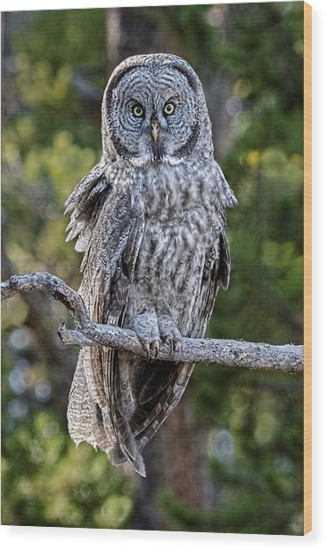 Great Grey Owl Yellowstone Wood Print