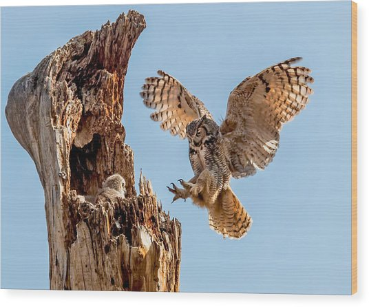 Great Horned Owl Returning To Her Nest Wood Print