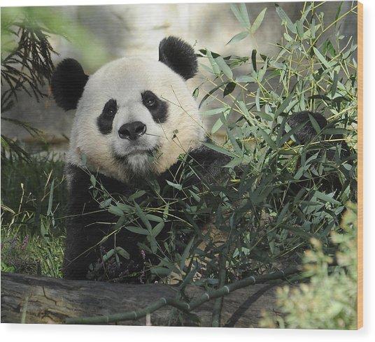 Great Panda Wood Print by Keith Lovejoy