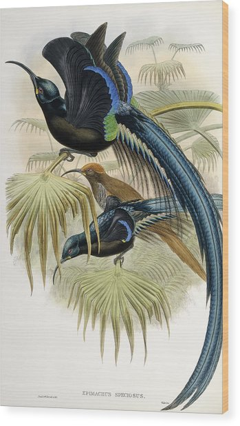 Great Sickle-billed Bird Of Paradise Wood Print