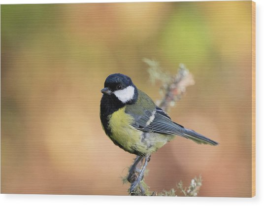 Wood Print featuring the photograph Great Tit - Parus Major by Karen Van Der Zijden