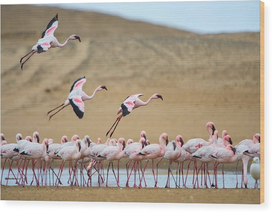 Greater Flamingos Phoenicopterus Wood Print