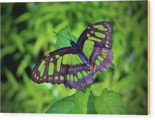 Green And Black Butterfly Wood Print