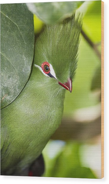 Green Turaco Bird Portrait Wood Print