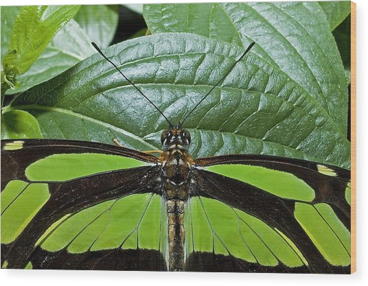 Green Butterfly Wood Print