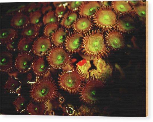 Green Button Polyps Wood Print