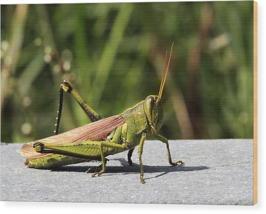 Green Grasshopper Wood Print