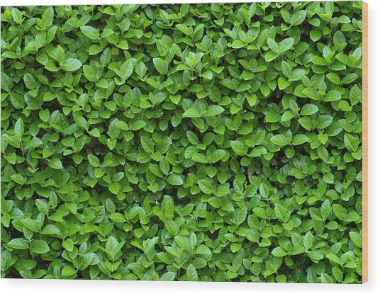 Green Hedge Wood Print by Frank Tschakert