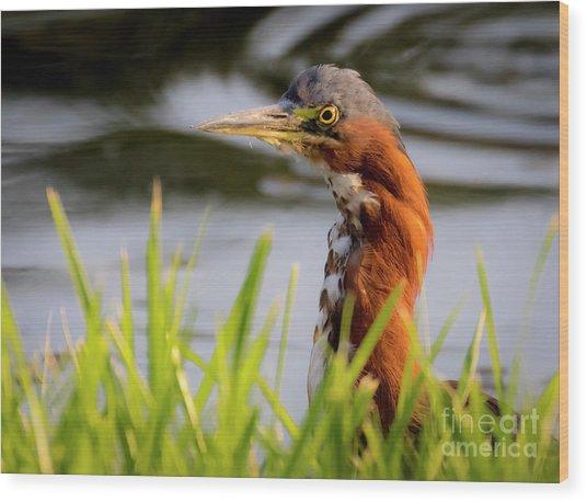 Green Heron Closeup  Wood Print