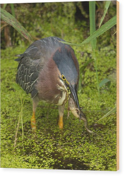 Green Heron With Prey Wood Print