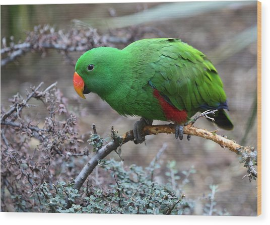 Green Male Eclectus Parrot Wood Print