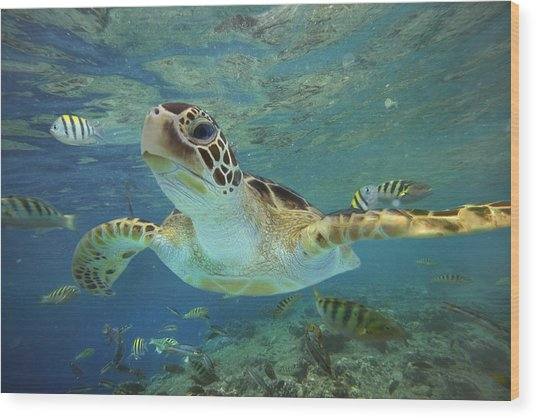 Green Sea Turtle Chelonia Mydas Wood Print