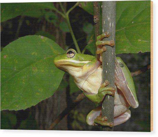 Green Tree Frog II Wood Print by Griffin Harris