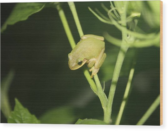 Green Tree Frog On Hibiscus Wood Print by Paula Coley