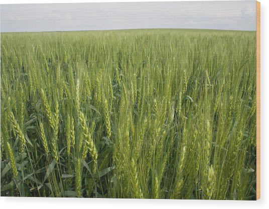 Wood Print featuring the photograph Green Wheat by Dylan Punke