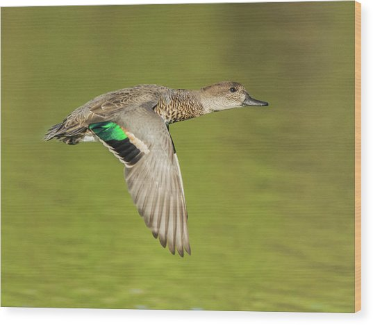 Green-winged Teal 6320-100217-2cr Wood Print