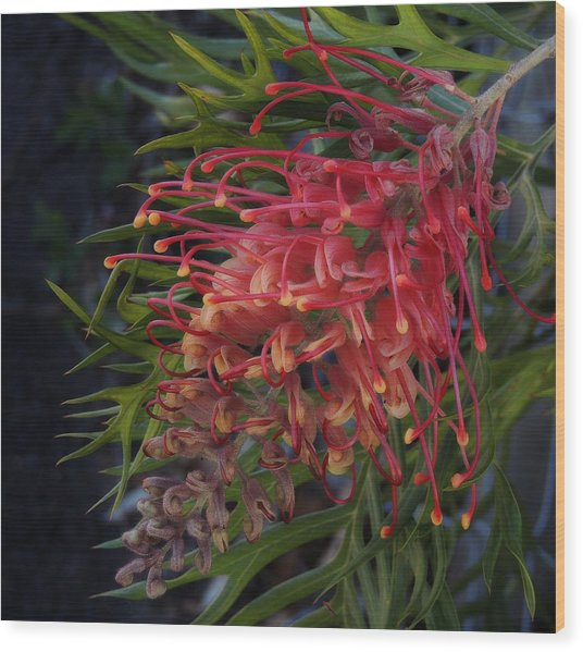 Grevillea Robyn Gordon Wood Print