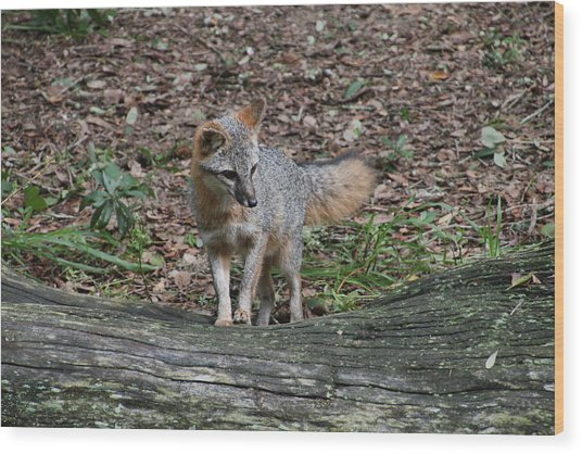 Grey Fox Wood Print
