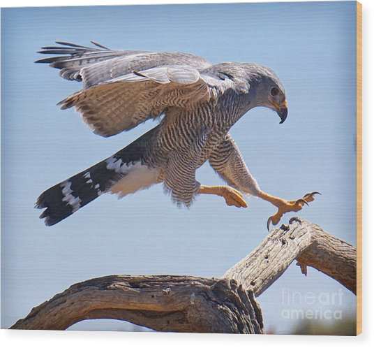 Grey Hawk Alights Wood Print