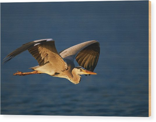 Grey Heron In Flight Wood Print