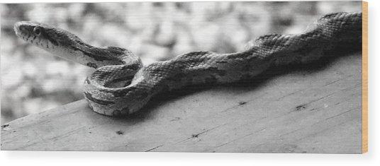 Grey Rat Snake Wood Print
