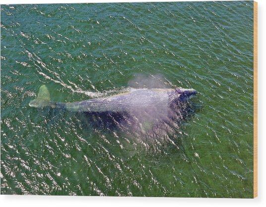 Grey Whale Wood Print