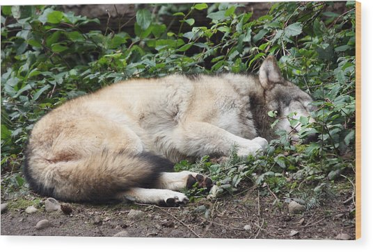 Grey Wolf - 0008 Wood Print
