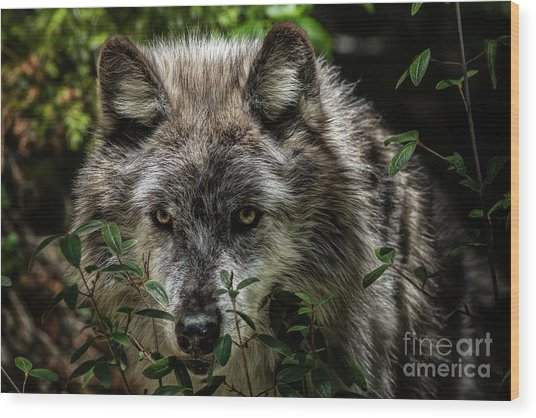 Wood Print featuring the photograph Grey Wolf by Brad Allen Fine Art