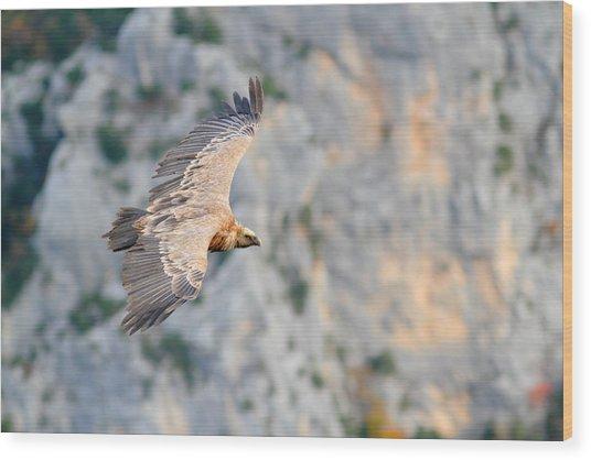 Griffon Vulture Wood Print