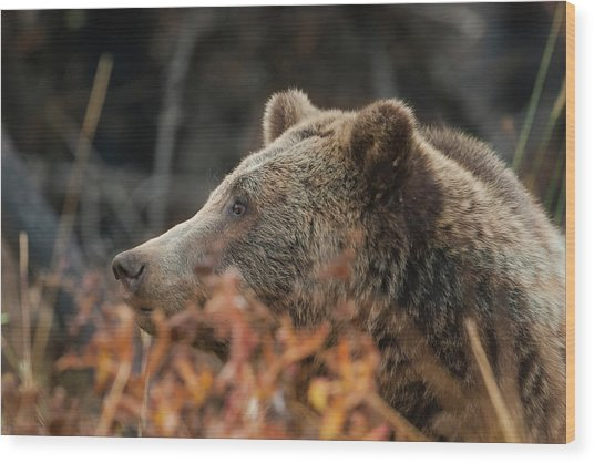 Grizzly Bear Portrait In Fall Wood Print