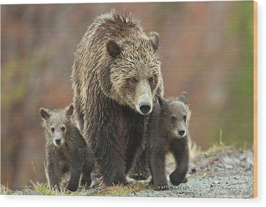 Grizzly Family Wood Print
