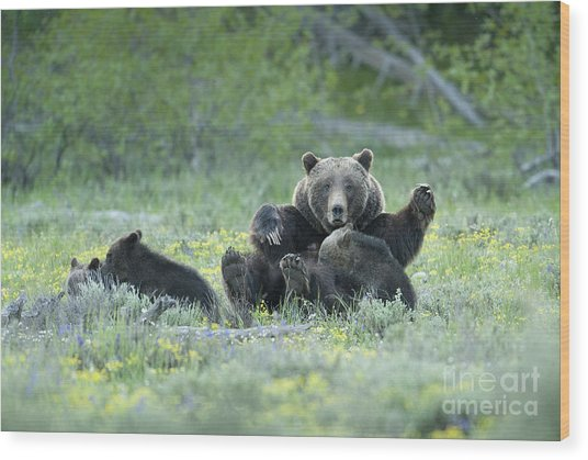 Grizzly Romp - Grand Teton Wood Print